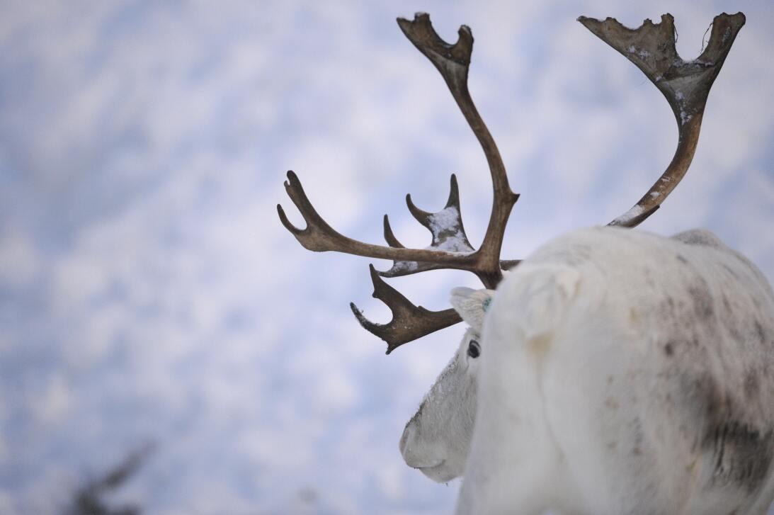 Qué dice la ciencia sobre la nariz roja del reno Rodolfo GettyImages-838...