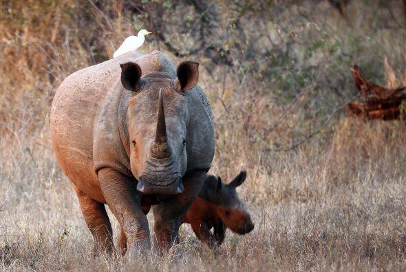 Los rinocerontes viven aproximadamente 40 años, es por esto que Molly es...