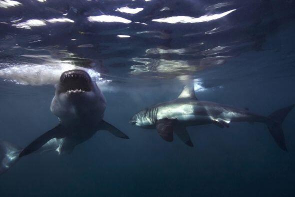 Aaron consiguió tener muy buenas tomas de los tiburones que nadaban junt...