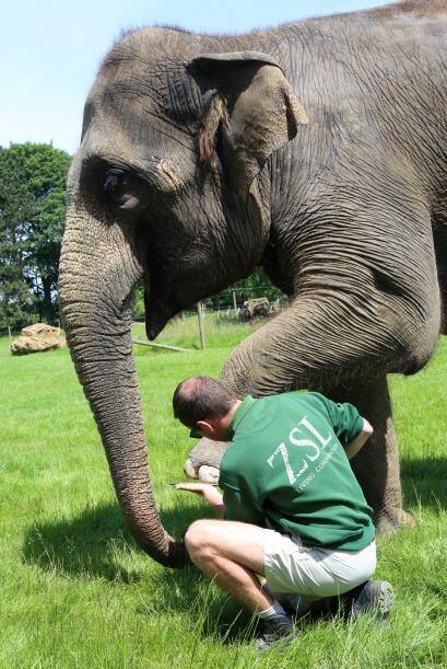 Este par de  elefantes hembras son consentidas en el zoológico de  Whips...