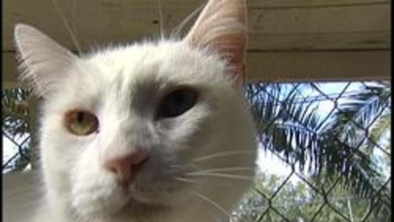 """Gato que se encuentra en albergue """"Hermitage Cat Shelter"""""""