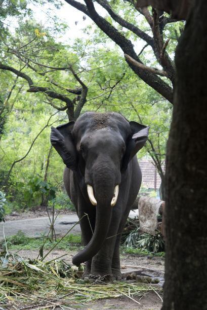 Los elefantes son entrenados para llevar las ofrendas del Rey Krishna y...