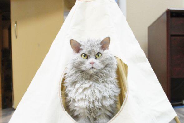 El gato Albert tiene los mismos pelos blancos y grises que el creador de...