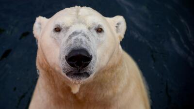 Osos polares: los gigantes blancos que se las ingenian para sobrevivir sobre hielos cada vez más pequeños