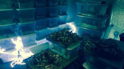 Hallan cultivo de hongos alucinógenos al sur de Austin