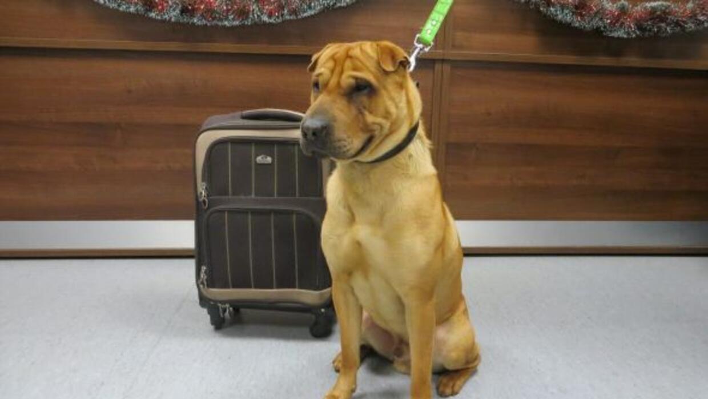 Kai es un perro adorable que seguro pronto tendrá un dulce hogar