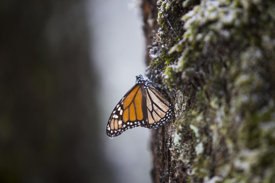 A migrating butterfly confronts the great snowstorm in Mexico MARIPOSA_1...