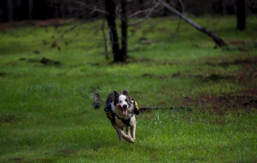 Una mujer y tres perras reforestan los bosques quemados de Chile… ¡jugan...