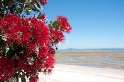 El Pohutukawa es un árbol que florece bellamente en esta época del año,...