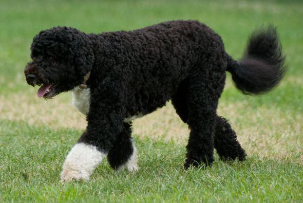 Este perro de aguas portugués, el consentido de la Casa Blanca, l...