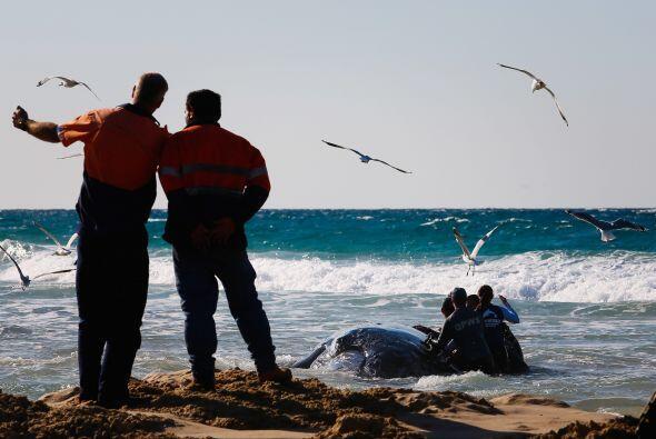 Esta vez la ballena bebé tuvo mucha suerte de ser rescatada y liberada c...