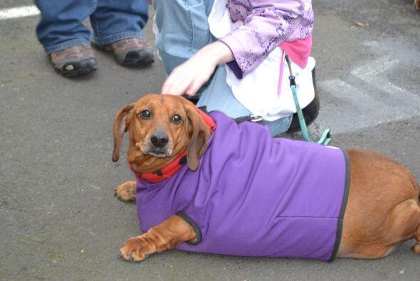 Un perro salchicha saludable debe de pesar un promedio de 27 libras.