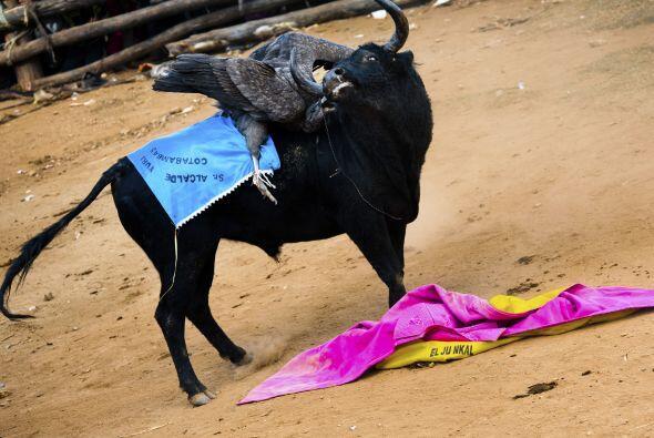 El toro suele ser un animal salvaje, criado en los breñales y en...