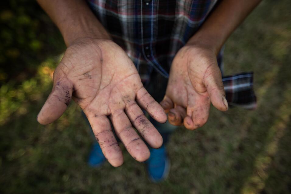 Victoriano, 46, de El Salvador, lleva 17 años en Estados Unidos recogien...