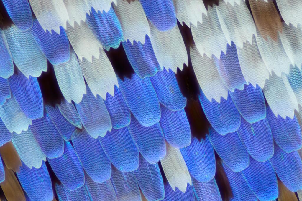 Las alas de mariposas como nunca antes las viste Papilio ulysses butterf...