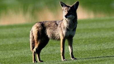 Policía de Frisco captura a un coyote que habría atacado a varios transeuntes del área