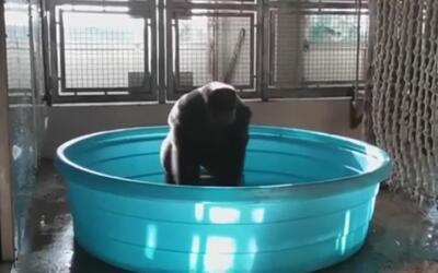 Zola, la gorila que se ha robado el show en las redes con sus dotes de b...