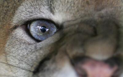 Los ataques de pumas a seres humanos son sumamente raros.
