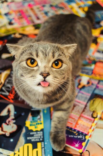 Un gato con inusual lengua larga