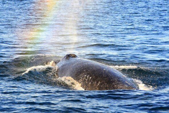 Son ballenas muy agradables y nobles, los movimientos que hacen y las vo...