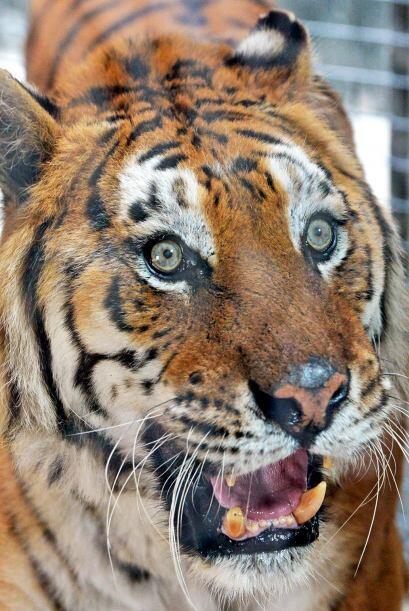 Los tigres llegaron al parque ecológico en condiciones que no eran tan b...