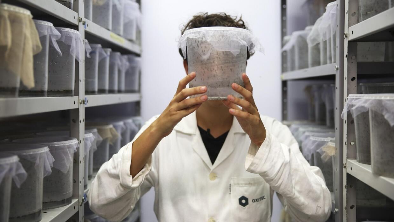 Supervisora de Oxitec muestra mosquitos modificados genéticamente