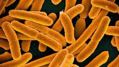 La bacteria E.coli.