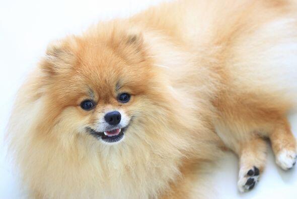 8. PomeranianEs un perro compacto de un físico atractivo y adorable, es...