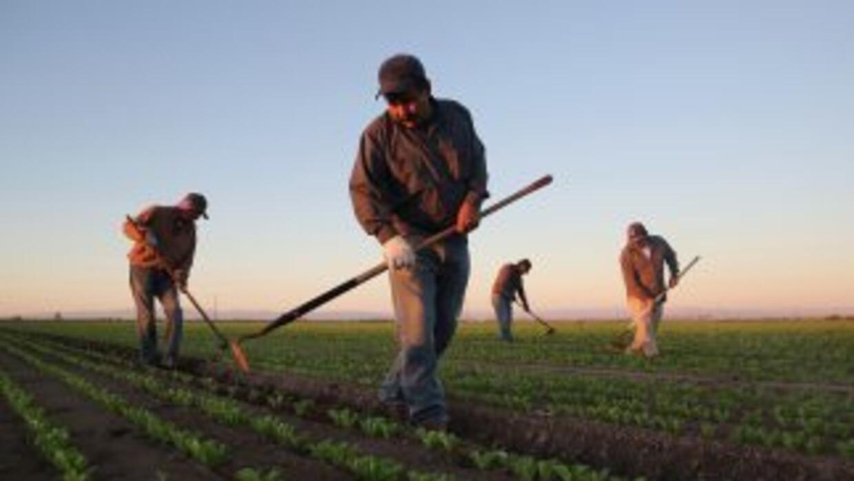 Un grupo de trabajadores mexicanos cultiva lechugas en California.