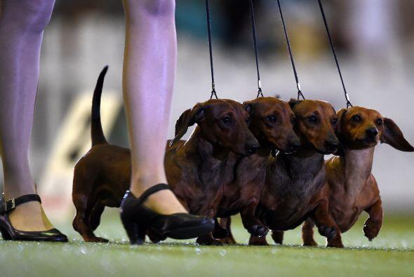 Los perros además de demostrar sus habilidades tienen que lucir s...