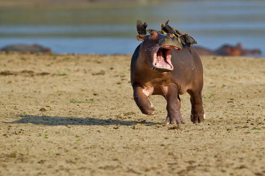 Mostrar el lado cómico de las criaturas que amamos fotografiar y proteger.