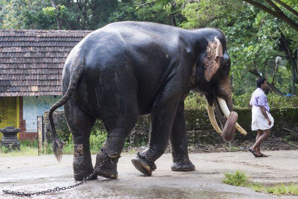 Una señal de un buen Mahout es el control que logre tener con el elefant...