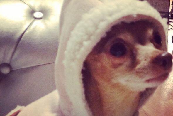 Tal como pasa con Honey, una perrita Chihuahua muy bien portada.