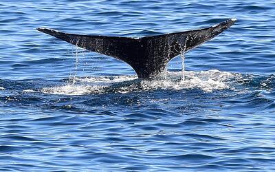La ballena gris es una de las especies que hacen su migración anu...