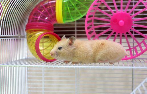 Hámster. Este pequeño y peludo amigo es nuestra siguiente recomendación...