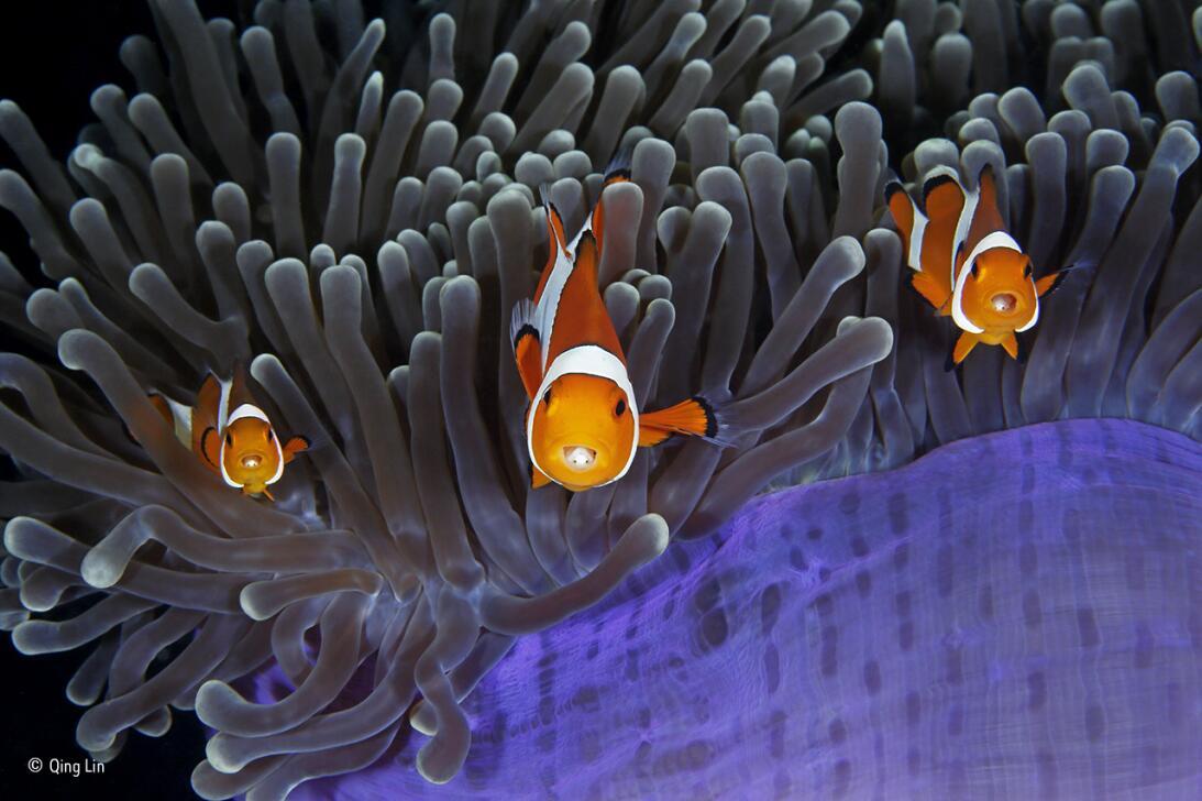 Los infiltrados. Tres peces payasos se asoman de entre los tentáculos de...
