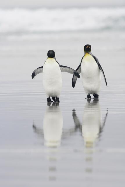 Unos pingüinos perdieron a su hijo