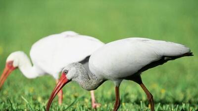 Los ibis blancos abundan en el Parque Nacional de los Everglades en la F...
