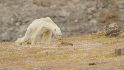 Imagen del oso, famélico, mientras trata de continuar buscando comida.