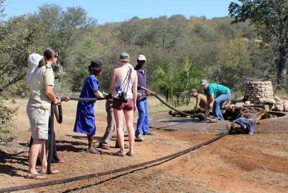 Un grupo de expertos en la vida salvaje llegó a rescatarlo en la Reserva...