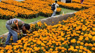 Cempasúchil, las cualidades curativas de la flor de muertos
