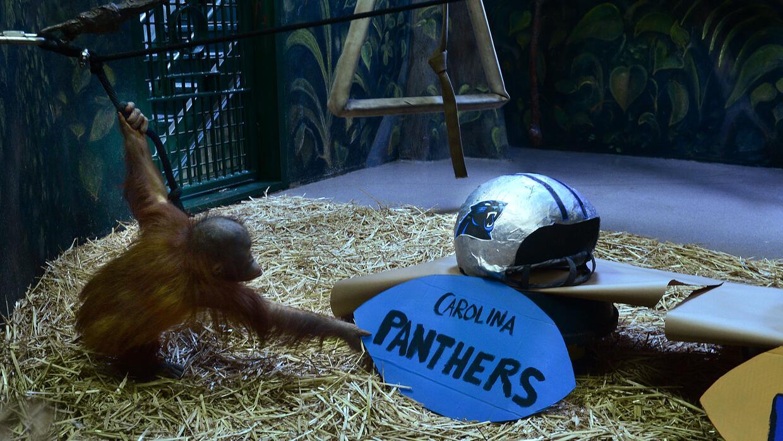 El orangután Tuah, del zoológico Hogle en Uah, elige a los Panthers de C...