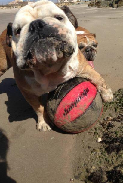 Tillman Este bulldog es el Tony Hawk del mundo animal: durante los X Gam...