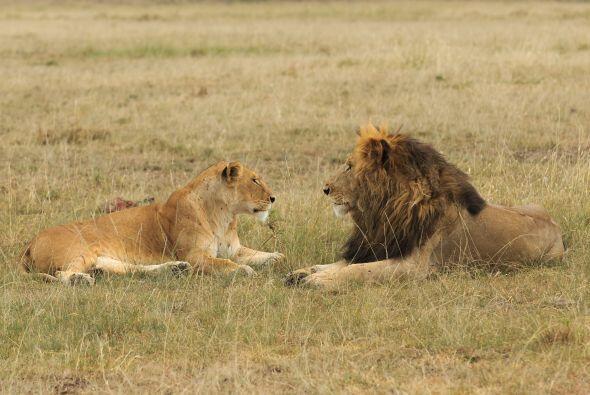 Pero la leona le mostró lo enojada que estaba.