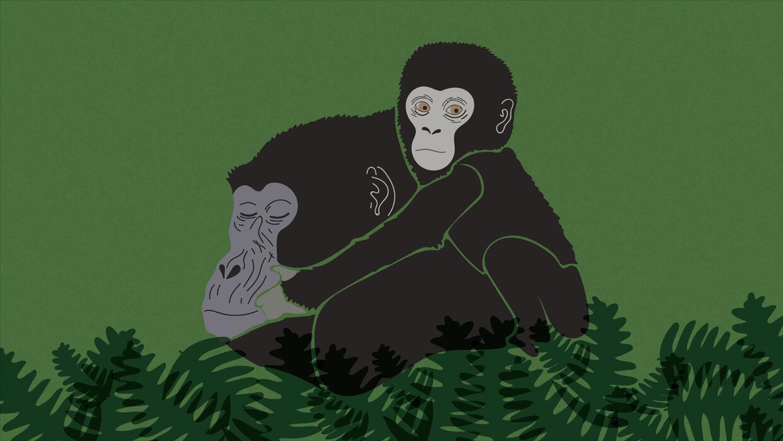 Quedan menos de 880 gorilas de montaña en el mundo