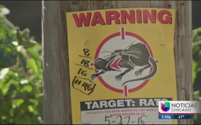 Nueva arma para combatir plaga de ratas en Chicago