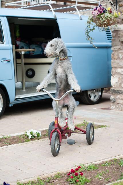 Barry es un perro con un don único: ¡sabe montar la bicicleta!