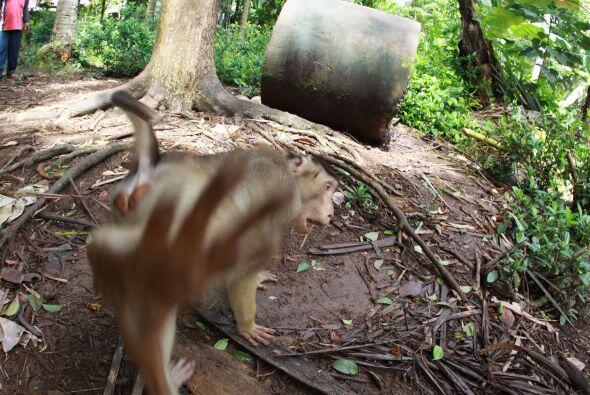 A este pequeño mono coleta de Indonesia no le gusta que le tomen fotogra...