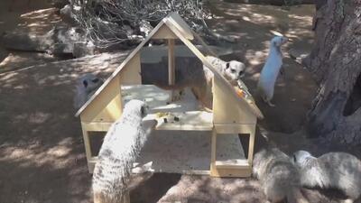 Nuestro momento cute: así investigan su nueva casa estas suricatas