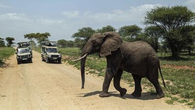 An elephant crosses a road on the outskirts of Arusha, northern Tanzania.